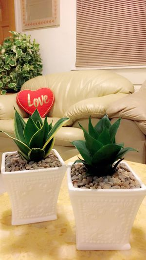 Snake Plant - Indoor Plant - $10 each for Sale in Santa Ana, CA