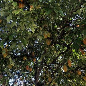 Free Starfruit for Sale in Lake Worth, FL