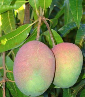 Mango Glenn 🥭 plant/ beautiful healthy trees... for Sale in Tampa, FL