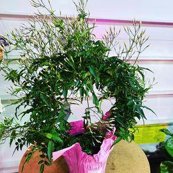 Jasmine Fragrant Plants for Sale in Vancouver,  WA