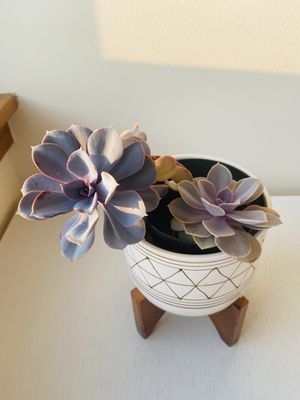 Succulent Plant - including pot, easy to treat! for Sale in Brooklyn, NY