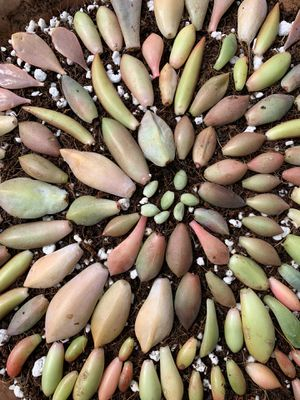 50 pcs Succulent Leaves for Propagation for Sale in Garden Grove, CA