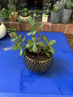 Jade Plant in decorative pot. for Sale in Sterling Heights, MI