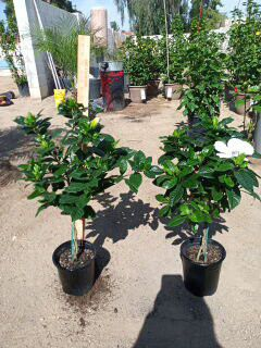 Gardenia tree 26 inches greenhouse grown braided for Sale in Scottsdale, AZ