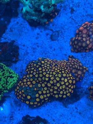 Sunny d's zoas in a piece of rock for Sale in Addison, IL