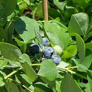 Organic Blueberry Tree for Sale in Sierra Madre, CA