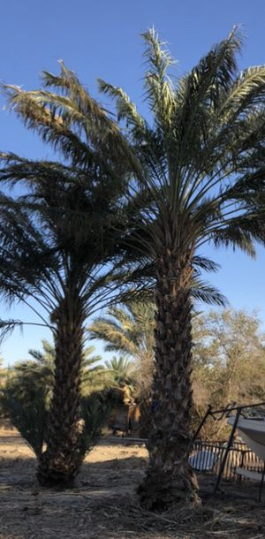 Medjool Date Palms 🌴 up to 20' & Shoots for Sale in Desert Hot Springs, CA