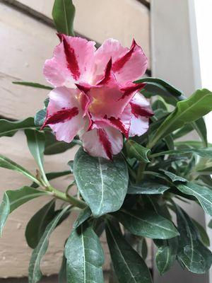 Desert 🌵 rose 🌹 for Sale in South Gate, CA