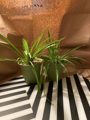 Two rooted spider plants in pots for Sale in San Diego, CA