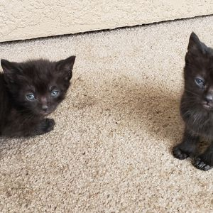 Free Kitten To A Good Home for Sale in Tampa, FL