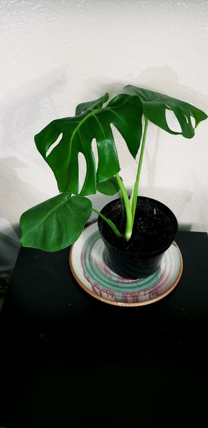 18 inch tall live monstera deliciosa plant in 8 inch diameter pot for Sale in Chandler, AZ