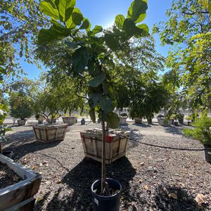 15ft Tall Fiddle Leaf Fig for Sale in Los Angeles, CA