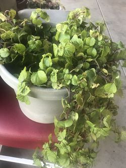 Coin Plant for Sale in Altadena,  CA