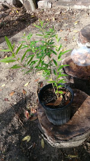 Pomegranate Fruit Tree from seed Plants for Sale in Hudson, FL