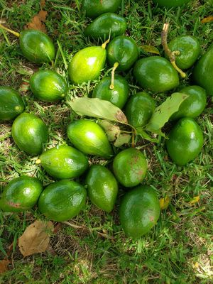 Fresh Organic Avocados for Sale in Cape Coral, FL