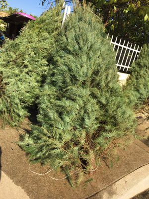 Fat Fluffy Douglas Real Tree 50$ for Sale in Los Angeles, CA