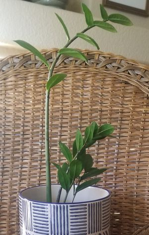ZZ Plant (pot not included) for Sale in Las Vegas, NV