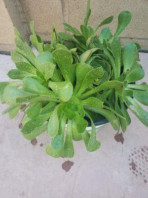 Plant succulent for Sale in Corona, CA