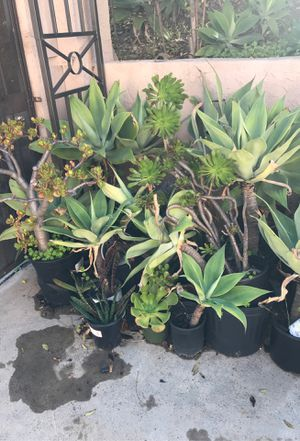 Succulent Plants – 5 Varieties Fully Rooted!🌵🍀 for Sale in Chula Vista, CA