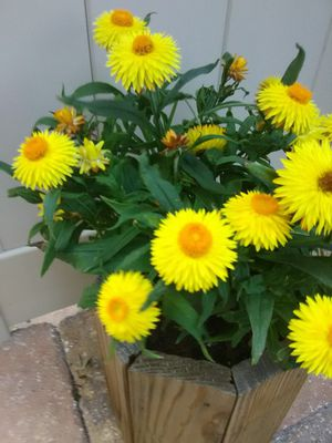 Yellow Flowers in Wood Pot for Sale in Poinciana, FL