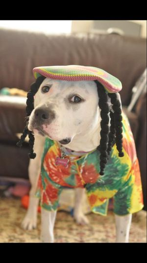 Rasta Impasta Rasta Dog Halloween Costume XXL DISCLAIMER: I AM NOT SELLING THE DOG for Sale in Rockville, MD