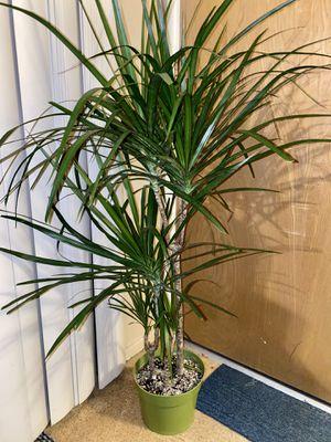 "3 Foot Tall Dracaena Marginata Indoor Floor Plant in 8"" Pot for Sale in Los Angeles, CA"