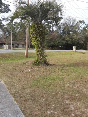 Free palm tree for Sale in Ocala, FL