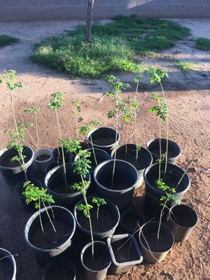 MORINGA PLANTS READY FOR TRASPLANTER MORINGA LISTA PARA TRASPLANTAR GRANDE PLANTAS for Sale in Phoenix, AZ