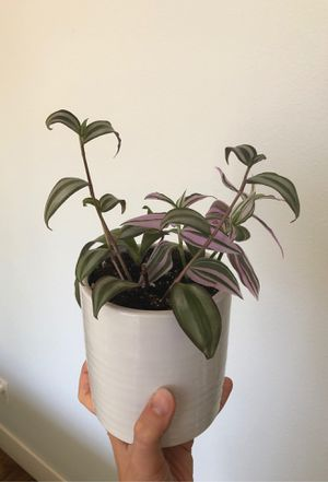 Tradescantia plants Wandering Jew in a large ceramic pot for Sale in Vancouver, WA