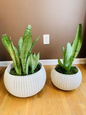 Snake Plant with 2 pot for Sale in Parsippany-Troy Hills, NJ