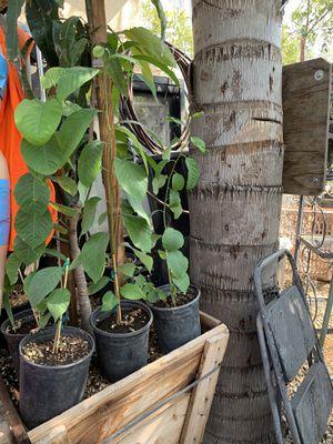 Cherimoya tree for Sale in Redlands, CA
