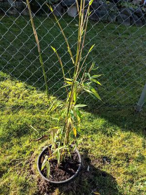 Real potted yellow bamboo plants for Sale in Kent, WA