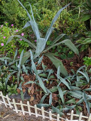 Maguey/ Agave Plant for Sale in Wimauma, FL