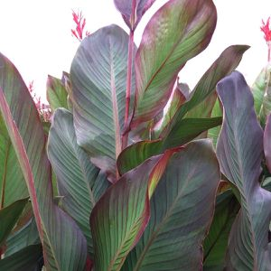Musifolia canna lily for Sale in Lyman, SC