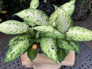 Plants de sombra en tronko for Sale in Bell, CA