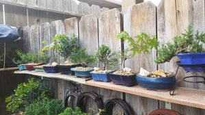 Bonsai plants sell for Sale in Fresno, CA