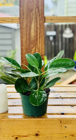 Live indoor Ficus Audrey (Benghalensis) house plant tree in a temporary plastic planter flower pot—firm price for Sale in Seattle, WA