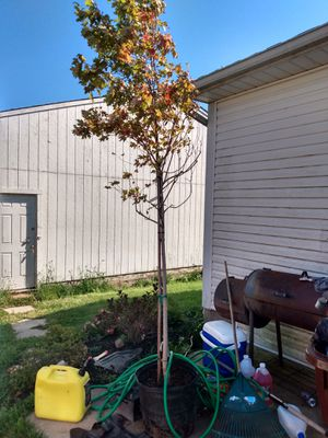 Acer / red Jeffers red maple tree for Sale in Johnstown, OH