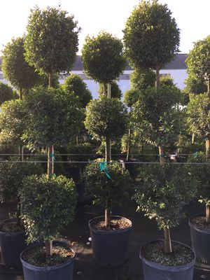 Tall 3-ball Topiary Eugenia Globulus for Sale in Homestead, FL