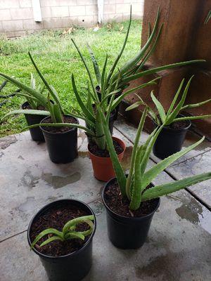 Aloe vera plants. $5 each... for Sale in Colton, CA