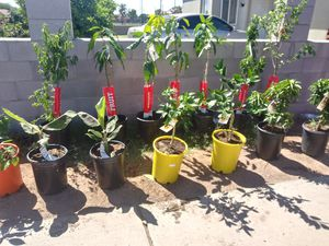Easter sale 14 different fruit trees all 250$ for Sale in Phoenix, AZ