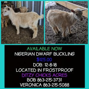 Nigerian Dwarf for Sale in Frostproof, FL