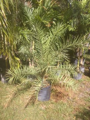 Sylvester palm for Sale in Orlando, FL