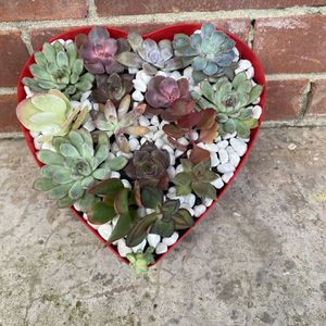 Succulent Arrangement for Sale in Houston, TX