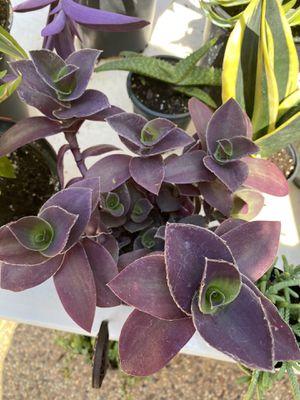 Purple rosette succulent for Sale in Arlington, TX