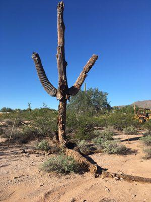 Saguaro cactus for Sale in Payson, AZ