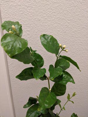 Blooming Jasmine plant, garden, pothos, boho, gift for Sale in Houston, TX