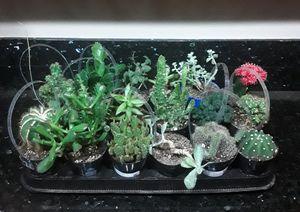 1 Tray of 18 Pot Succulents 4 Inch for Sale in Phoenix, AZ