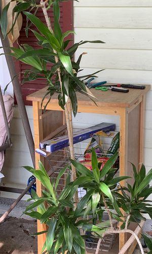 5 ft house plant healthyPom Pom plant for Sale in Virginia Beach, VA