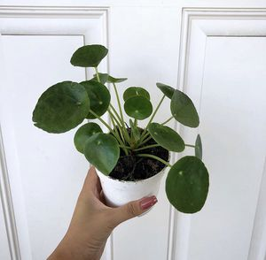 Pilea Peperomioides for Sale in Westminster, CA